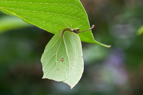 Brimstone Butterfly 3