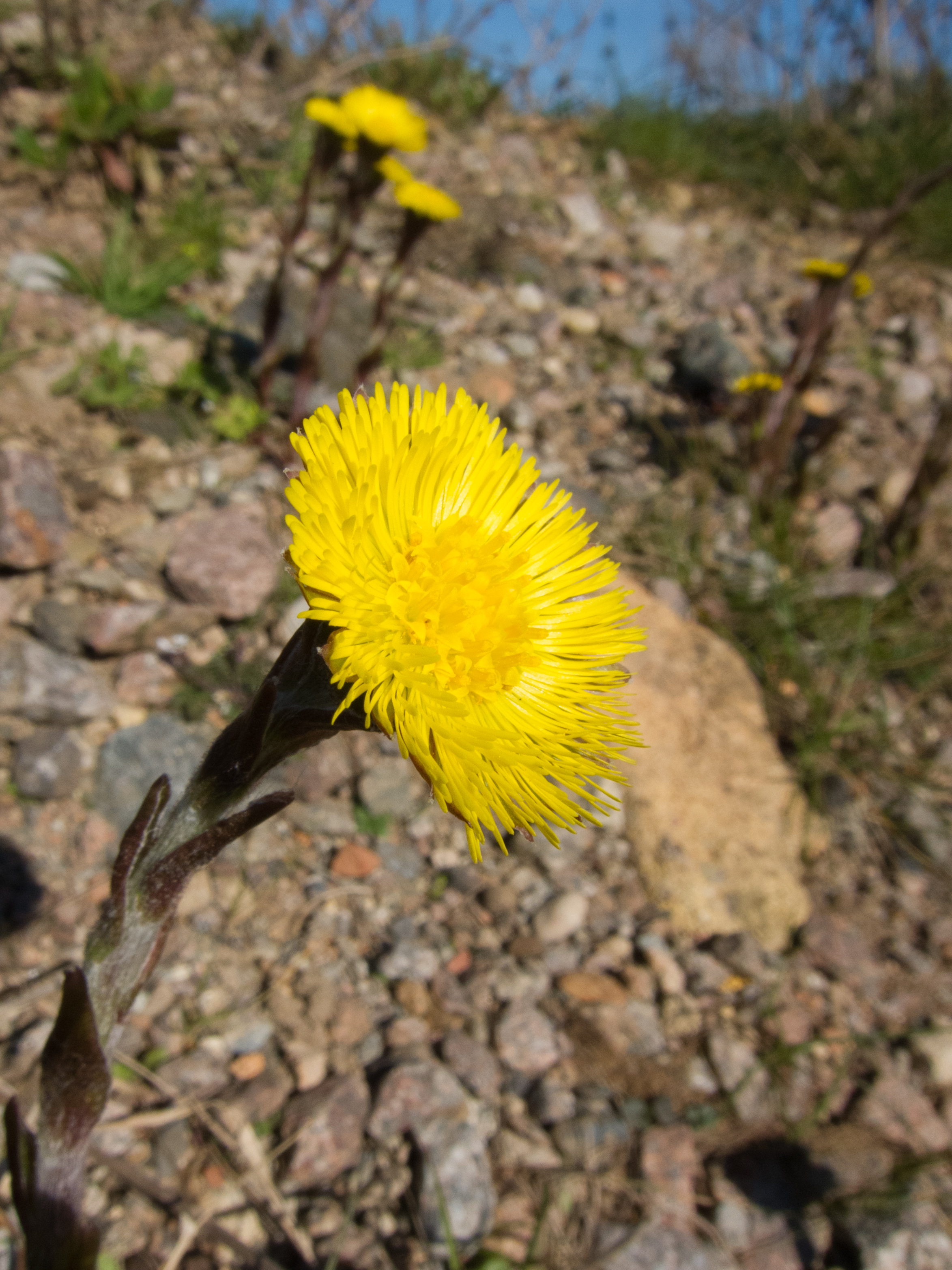 Apart From Looking Beautiful With Such An Interesting Stem Coltsfoot Are Recognisable In Spring By Their Lack Of Leaves These Ear After The Flowers Have