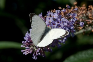 Male Large White Butterfly