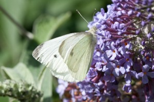 Male Small White Butterfly