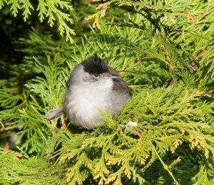 Early Male Blackcap