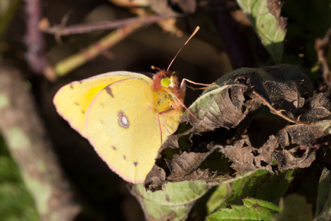 clouded yellow-3