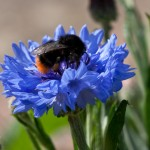 Bombus lapidarius on a cornflower