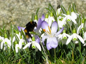 Bumblebee on Snowdrops
