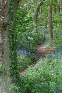 Bluebells at Everdon Stubbs