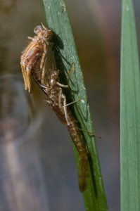 Damselfly emerging from larval case.