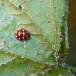 native cream spot ladybird